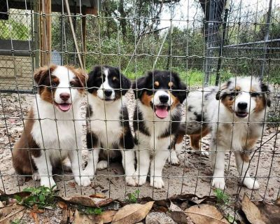 AKC Australian shepherd puppies