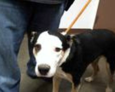 Adopt BOWIE a Tricolor (Tan/Brown & Black & White) Australian Cattle Dog / Mixed