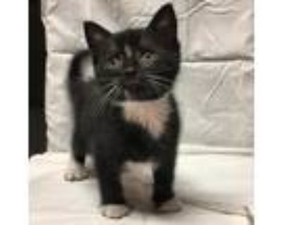 Adopt CT Trinkit Avail July 31 a All Black Domestic Shorthair / Mixed cat in