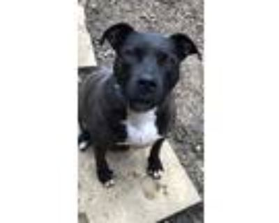 Adopt Claudia a Black - with White American Pit Bull Terrier / Mixed dog in
