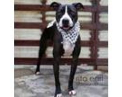 Adopt Handsome Chance a American Staffordshire Terrier, Border Collie