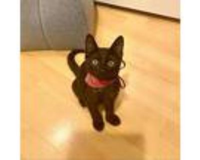 Adopt BMW a All Black Domestic Shorthair / Mixed cat in Los Angeles
