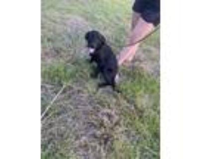 Adopt LEWIS a Black Labrador Retriever