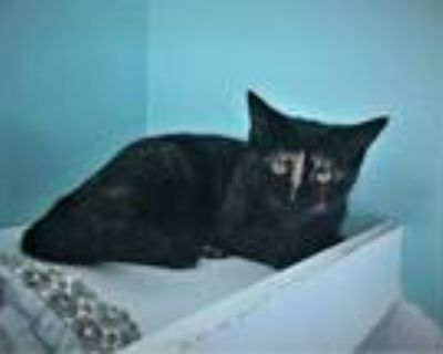 Adopt Bear Cub a All Black Domestic Shorthair / Domestic Shorthair / Mixed cat