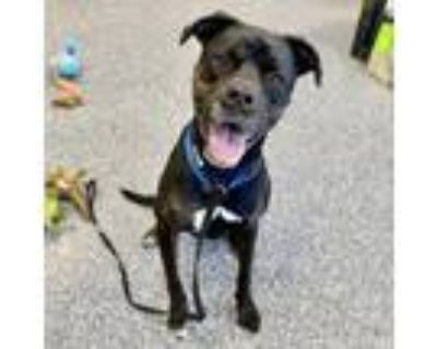 Adopt Nola a Black Rottweiler / Mixed dog in Indianapolis, IN (31563306)