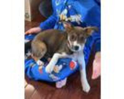 Adopt Iris a Tricolor (Tan/Brown & Black & White) Beagle / Labrador Retriever /