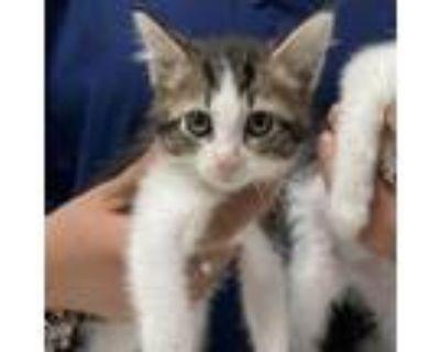 Adopt Naveen a Domestic Short Hair