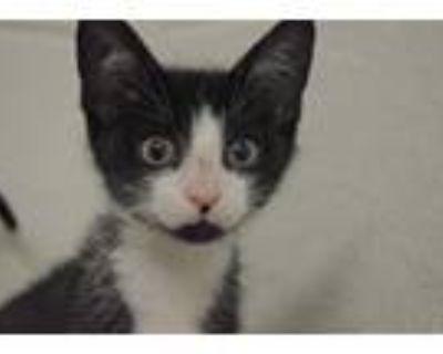 Adopt JEAN HARLOW a Black & White or Tuxedo Domestic Shorthair / Mixed (short