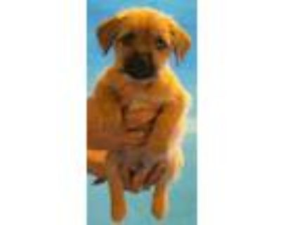 Adopt 159539 a Brown/Chocolate Shih Tzu / Mixed dog in Bakersfield