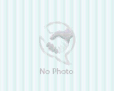 Adopt Deuce a Gray/Silver/Salt & Pepper - with White American Staffordshire