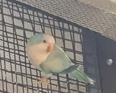Parakeet - Other named Cedric available for adoption