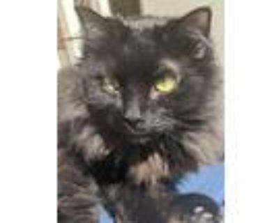 Adopt Marley a Black (Mostly) Persian / Mixed (long coat) cat in Atlanta