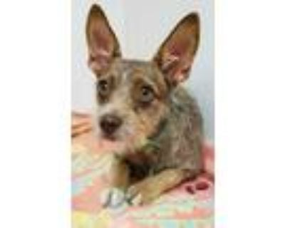 Adopt Fern a Brown/Chocolate Terrier (Unknown Type, Small) / Mixed dog in