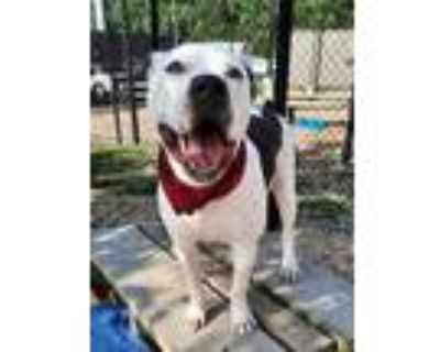 Adopt Larry a White American Pit Bull Terrier / Mixed dog in Chesapeake