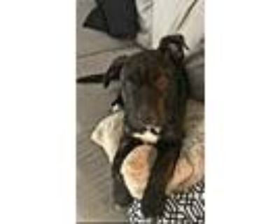 Adopt Cola a Brindle Shar Pei / American Pit Bull Terrier / Mixed dog in