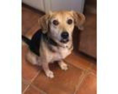 Adopt Duke a Black - with Tan, Yellow or Fawn Beagle / German Shepherd Dog /