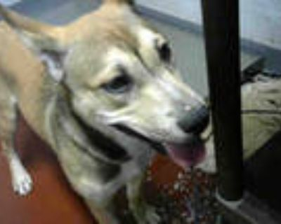 Adopt NALA a Brown/Chocolate - with White Husky / American Pit Bull Terrier /