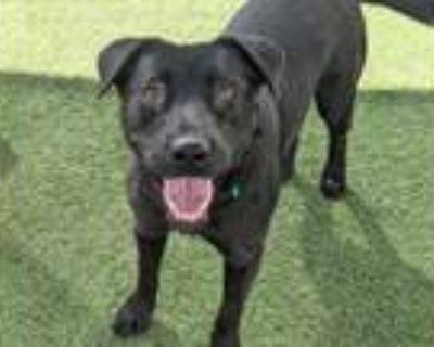 Adopt SALLY a Labrador Retriever, Mixed Breed
