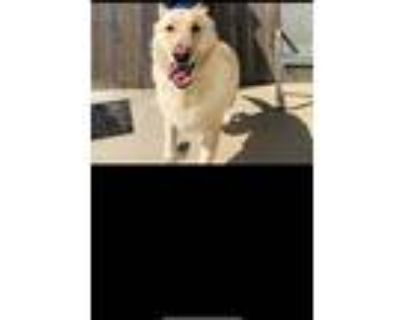 Adopt Leo a White - with Gray or Silver German Shepherd Dog / Mixed dog in