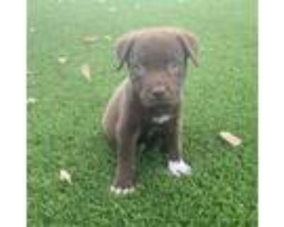 Adopt Masarati a Shepherd (Unknown Type) / Pit Bull Terrier / Mixed dog in