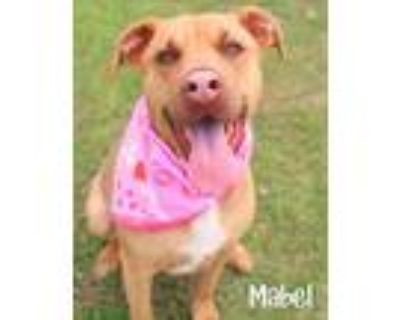 Adopt Mabel a Hound, Pit Bull Terrier