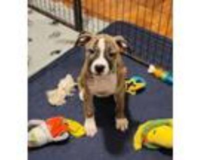 Adopt Braddock (Boxing Litter) a Basset Hound, Boxer