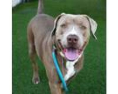 Adopt Ringo a Weimaraner, American Staffordshire Terrier
