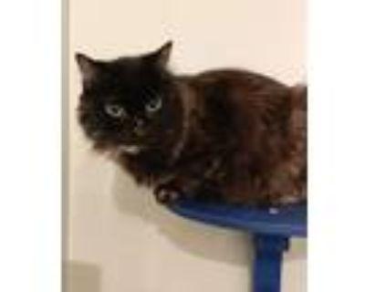 Adopt Pretzel a Tortoiseshell Domestic Longhair (long coat) cat in Queen Creek