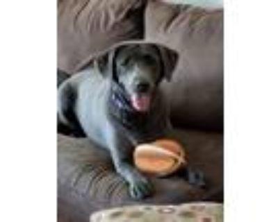 Adopt Lena a Labrador Retriever