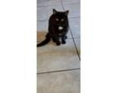 Adopt Patch a Black (Mostly) Domestic Shorthair / Mixed (short coat) cat in