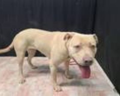Adopt HEARTS a Pit Bull Terrier