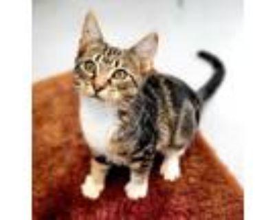 Adopt Marble 934-21 a All Black Domestic Shorthair / Domestic Shorthair / Mixed