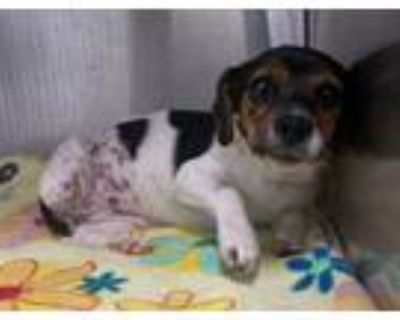 Adopt Claire a Jack Russell Terrier
