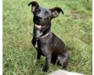 Adopt Timber a Black Labrador Retriever / Mixed dog in Barrington, RI (31968281)