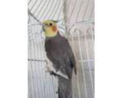 Adopt Ash a Gray Cockatiel / Mixed bird in Honolulu, HI (30638081)