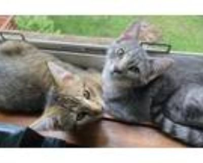 Adopt Kittens - Milo and Oliver a Domestic Short Hair