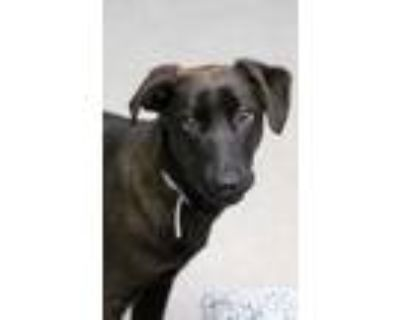 Adopt Stella a Brown/Chocolate - with Black Labrador Retriever / Mixed dog in