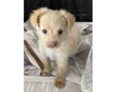 Adopt LAYLA a Tan/Yellow/Fawn Pomeranian / Poodle (Toy or Tea Cup) / Mixed dog
