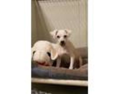 Adopt Rocky a White Poodle (Miniature) / Mixed dog in Fort Worth, TX (31466420)