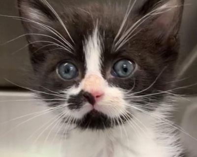 James - Domestic Shorthair - Kitten Male