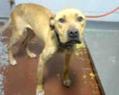 Adopt JAMAICA a Tan/Yellow/Fawn Labrador Retriever / Mixed dog in Atlanta