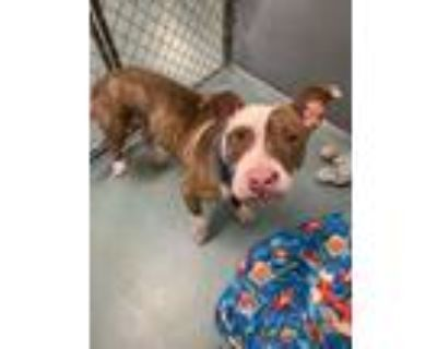 Adopt Sunny a Pit Bull Terrier, Catahoula Leopard Dog