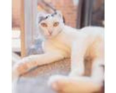 Adopt Florence a White Domestic Shorthair / Mixed cat in Fairfax Station