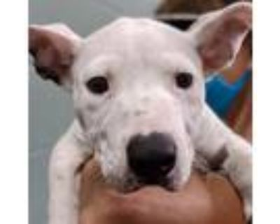 Adopt Luxor a White Husky / Pit Bull Terrier / Mixed dog in Oakland