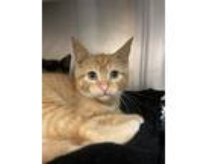 Adopt Soapberry a Domestic Shorthair / Mixed cat in Richmond, VA (31671040)