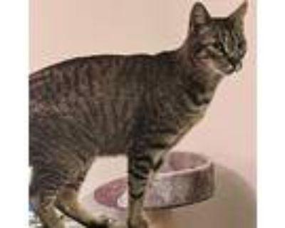 Simba, Domestic Shorthair For Adoption In Alameda, California