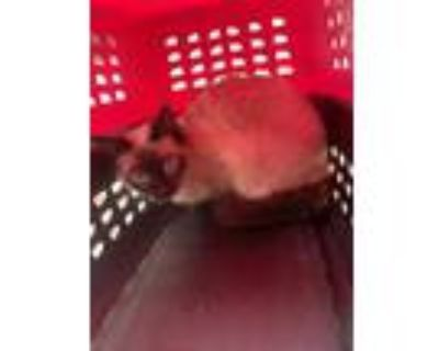 Adopt Cat a Tan or Fawn Siamese / Domestic Shorthair / Mixed cat in Fort Worth