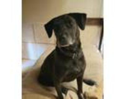 Adopt L. Bonnie a Black - with White Labrador Retriever / Cattle Dog / Mixed dog