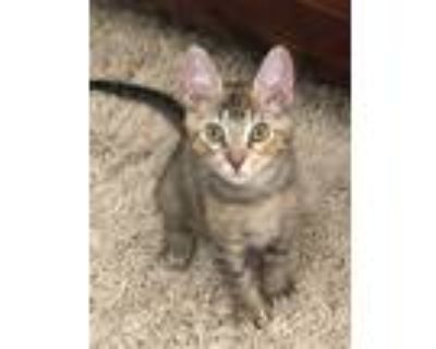 Adopt Penny a Gray, Blue or Silver Tabby Domestic Shorthair (short coat) cat in