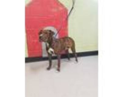 Adopt WASABI a Brindle American Pit Bull Terrier / Mixed dog in Indianapolis